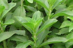 Стевия, или Медовая трава.  Стевия — многолетнее травянистое растение из семейства сложноцветных, в листьях которого содержится глюкозид (стевиозид), он слаще сахарозы в 300 раз. Этот заменитель сахара полезен всем, особенно больным сахарным диабетом и ожирением. Фото: © Tammy