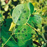 Sterroetdauw: sterroetdauw komt veel voor bij rozen en wordt veroorzaakt door een schimmel. Op de bovenkant van het blad treffen we ronde grijze tot grijszwarte vlekken aan met dikwijls een stervormige rand. De vlekken zijn talrijk en over het gehele blad verdeeld. De onderste bladeren worden als eerste aangetast. Bij een sterke aantasting worden de bladeren geel en vallen af, zodat de planten kaal worden. Lees hier meer over op www.tuinen.nl
