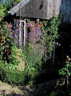 Eine wunderschöne Pflanze, die ich an dieser Stelle besonders empfehlen möchte, ist  eine Verbene, die Verbenia bonariensis (Hohes Eisenkra...