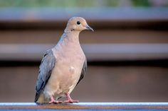 Mourning Dove.jpg | by robertbriggs2