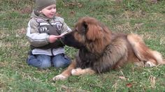 The Caucasian Mountain Dog is one of the largest dog breeds that you can ever find. There are more than 10 names that are used for referring to this dog Large Dog Breeds, Large Dogs, Massive Dogs, Tibetan Mastiff, Dog Facts, Mountain Dogs, Dog Grooming, Funny Animals, Puppies