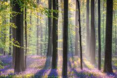 16 Stunning Photos Of The Blue Forest In Belgium That Is Completely Carpeted With Bluebells http://viralscape.com/hallerbos-bluebells-forest/