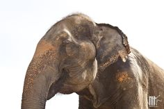 DuenPhen, one of our female elephant of appr. 55-60 yrs old. Rescued by WFFT in March 2012 from an elephant tourist camp.