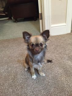 Rubis Chihuahua long coat | Pawshake