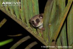 furry-eared dwarf lemur   Furry-eared dwarf lemur (Cheirogaleus crossleyi)