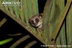 furry-eared dwarf lemur | Furry-eared dwarf lemur (Cheirogaleus crossleyi)