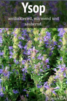Hyssop - already Hildegard von Bingen appreciated the plant - Garden Decoration Diy Herb Garden, Fruit Garden, Edible Garden, Garden Plants, Hydrangea Seeds, Hydrangea Care, Le Baobab, Palmiers, Garden Types