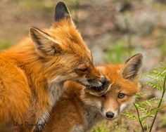 mother fox grooming kit by Steve Dunsford on 500px