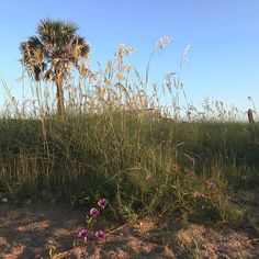 Simply can't get enough photos of the beach especially of the pretty flowers and palms that grow in the sand dunes. #vilanobeach #florida #beachlife #saltlife #mermaidforlife #travelblogrepeat #summervacation July 12 2018 at 02:55PM