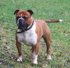 The difference between English Bulldogs and Olde English Bulldogge. The Olde English Bulldogge is hardier, less breathing and skin problems.