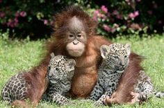 There aren't many things in this world cuter than baby animals. Some of these photos of baby animals were taken in the wild, in the national parks and ga Primates, Mammals, Vida Animal, Animal Hugs, Baby Wild Animals, Cute Baby Animals, Unlikely Animal Friends, Baby Orangutan, Leopard Cub