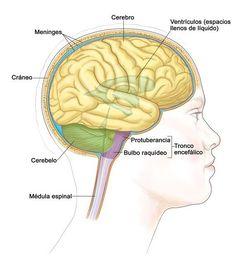 900 Ideas De Bases Biológicas De La Conducta En 2021 Fisiología Anatomia Y Fisiologia Neuroanatomia