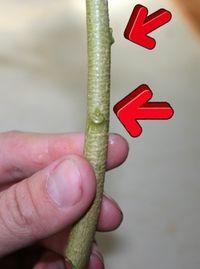 Rooting Brugmansia (Angel's Trumpet)