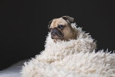 Free image of dog, pug, animal - StockSnap.io
