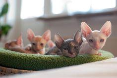 [Feline The Cornish Rex Kittens Weird Cats, Crazy Cats, I Love Cats, Cute Cats, Cornish Rex Kitten, Purebred Cats, Devon Rex Cats, Pet Breeds, Sphynx Cat