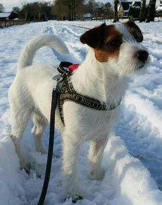 #Gijsmans #Pim #jrt #jackrussell snow in Holland. And sunshine