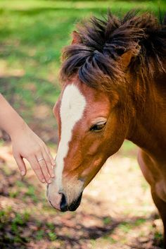 Mustang Foal Being Touched By a Human Hand For The First Time.