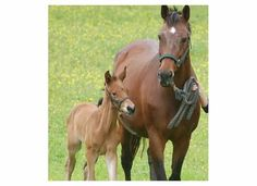 Joyland HF 2 days old with his dam by Flemmingh Dutch Warmblood, Warmblood Horses, Dressage Horses For Sale, Horse Breeds
