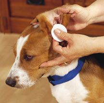 cleaning dogs ears  Give your dog's ears a cleaning by moistening a cotton ball or cloth with witch hazel, and gently wiping the inside of the ears. Don't use a cotton swab.