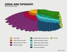 wing anatomy - Pesquisa Google