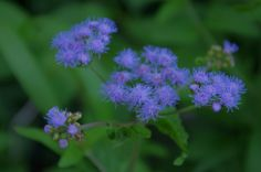 more winter ageratum
