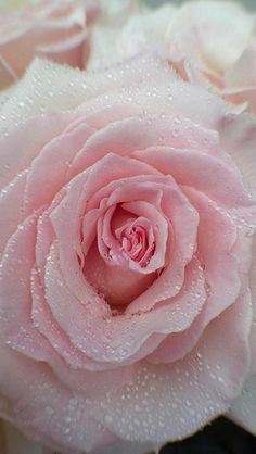 My favorite Peach Tea Rose