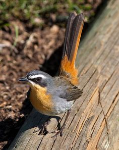 Spotted at Afton Grove - Cape Robin