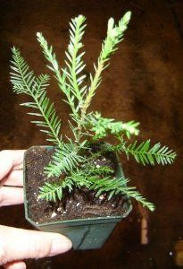 Fast growing baby Sequoia redwood tree in 4 inch pot by The Orchid Gallery. $13.99. Growing instructions included. Also called California redwood. These are Sequoia sempervirens. Ships Priority Mail for 3-day delivery. Redwoods (Sequoia sempervirens) are one of the oldest plant families on Earth. Although they thrive in the temperate rain forests of the Pacific Northwest, they can adapt to higher elevations and warmer and dryer climates, as well as colder areas. The s...