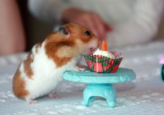 Baby hamster gets birthday cupcake. Note to self, if ever in a bad mood, look a hamster cupcake pic. Ridiculous :)