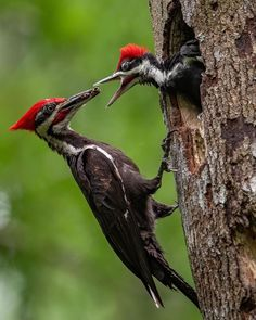 Pileated woodpecker nest Photo and/or Metal Print Birds And The Bees, All Birds, Love Birds, Beautiful Birds, Baby Animals, Cute Animals, Vida Animal, Colorful Birds, Exotic Birds
