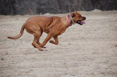 Run Bella Run (rottweiler & american bulldog)