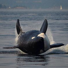 (tagged Orca) does an epic splash Orcas, Big Whale, Water Animals, Wale, Delphine, Ocean Creatures, Killer Whales, Ocean Life, Marine Life