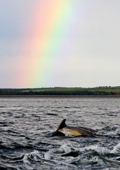 Bottlenose Dophins can often be seen at Spey Bay and on boat trips from MacDuff - Moray firth dolphin, Scotland