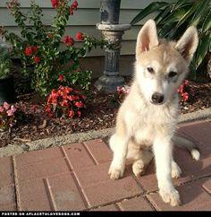 Lovely Husky Puppy - A Place to Love Dogs