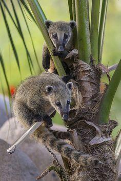 Curious Coatis Show Off Their Climbing Skills and Explore New Habitat at the Safari Park