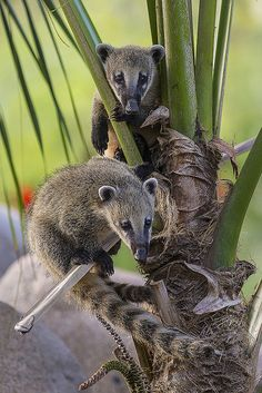 Curious Coatis Show Off Their Climbing Skills and Explore New Habitat at the Safari Park