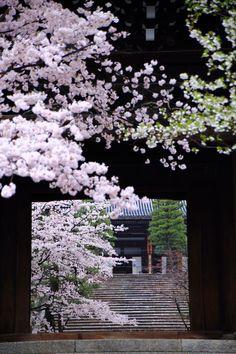 華やかな桜につつまれた金戒光明寺の山門と石段