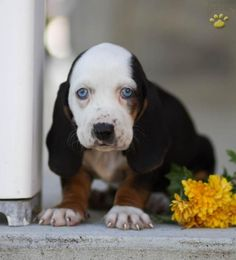 Blossom - Basset Hound Puppy for Sale in Newburg, PA | Lancaster Puppies - Tap the pin for the most adorable pawtastic fur baby apparel! You'll love the dog clothes and cat clothes! <3
