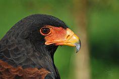 Águila volatinera (Terathopius ecaudatus), Parque de la Naturaleza de Cabárceno | Cantabria | Spain