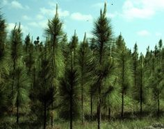 Alabama's state tree is the Southern Longleaf Pine. This evergreen can grow as high as 150 feet. The needles are very long and feathery (8 to 18 inches long),