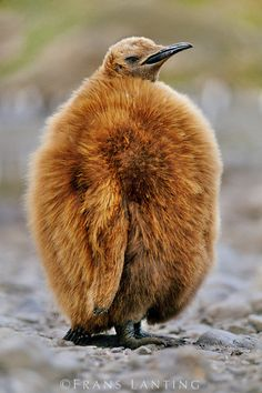 King penguin chick, Aptenodytes patagonicus, South Georgia Island by Frans Lanting