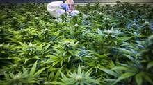 Canada's medical pot companies aim to grow export business