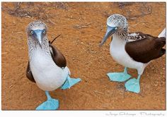 Galapagos Islands- blue footed booby There is no other bird I would rather see, ever! Beautiful Birds, Animals Beautiful, Cute Animals, Ecuador, Blue Footed Booby, Galapagos Islands, All Gods Creatures, Belleza Natural, Bird Watching