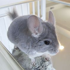I love chinchillas Animals And Pets, Baby Animals, Funny Animals, Hamsters, Rodents, Chinchilla Baby, Alaskan Klee Kai, Cute Little Animals, Little Critter