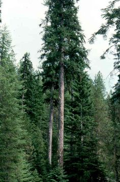 Larch: The smoke from burning larch is said to ward off evil spirits. Used for protection and to induce visions.