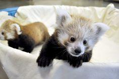 pensée pour Angel <3 de jeunes pandas roux