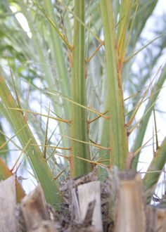 This is why I don't like Phoenix palms: major spines. Phoenix sylvestris