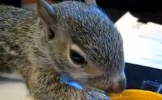 SO SUPER ADORABLE <3 - PLEASE WATCH VIDEO - Daily Cute: Rescued Baby Squirrel Nursed Back to Health
