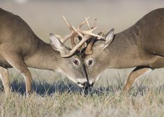 http://www.themotherco.com/wp-content/uploads/2011/10/White-Tail-Deer-fight_900.jpg