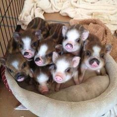 Little piggies